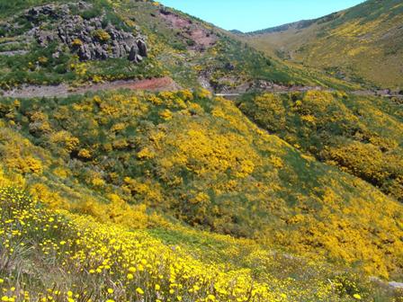 Fig. 3 – Estado atual de algumas zonas das serras da Madeira, onde é visível a dominância da giesta e carqueja (Foto: José Marques)
