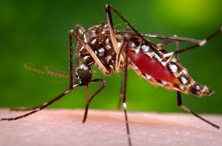 mosquito-aedes-aegypti-picando