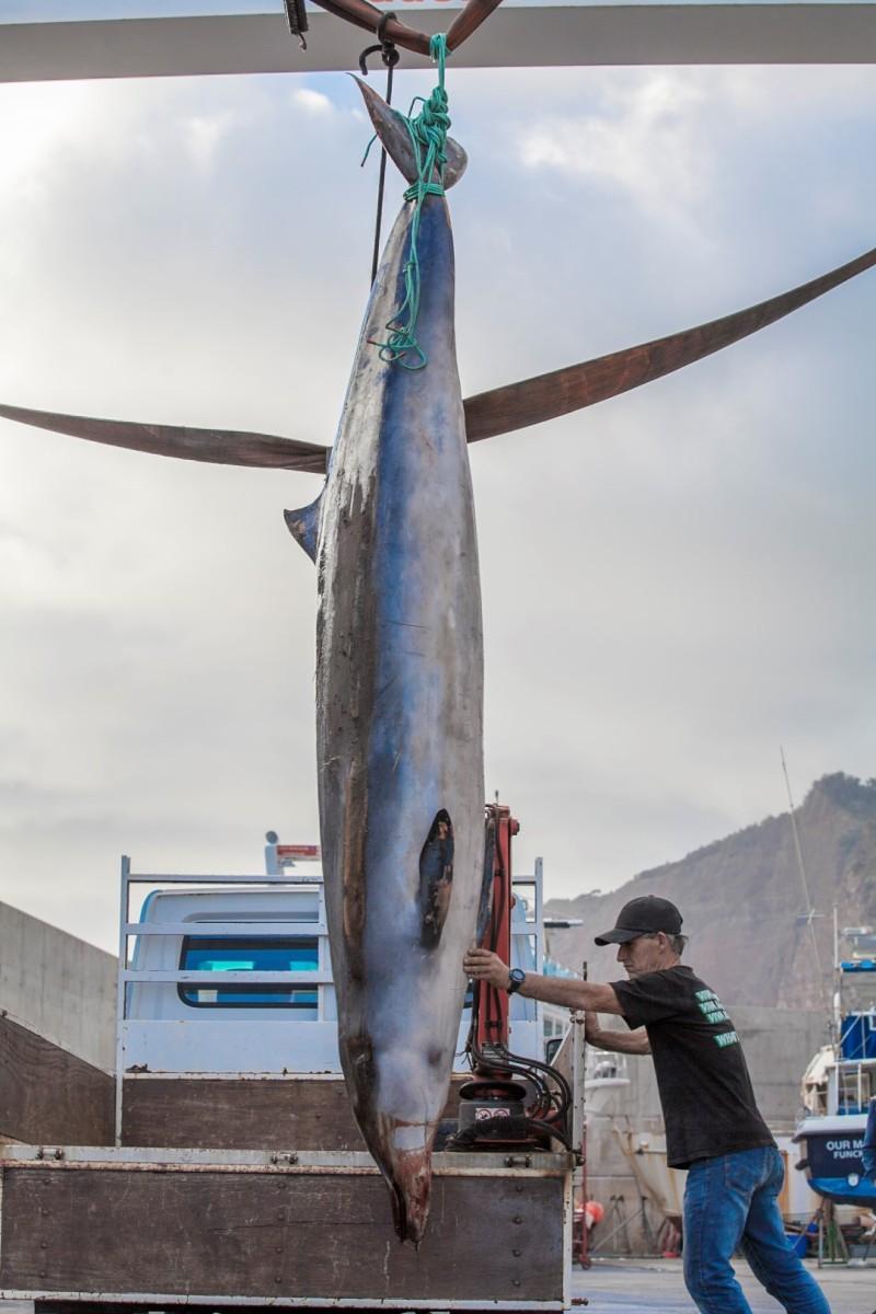 Baleia de Bico arroja em Câmara de Lobos