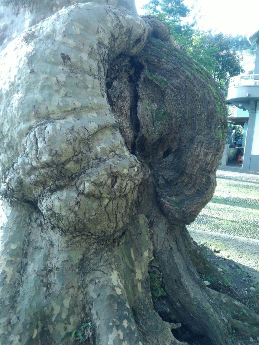 É esta a árvore que preocupa no Largo da Fonte (Monte)